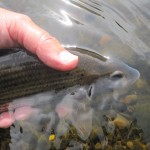 Grayling Release