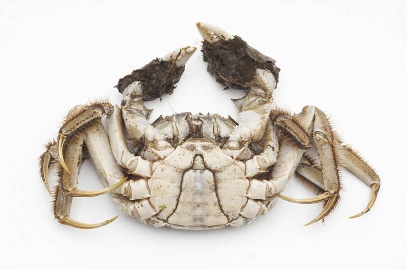 Chinese mitten crab 2